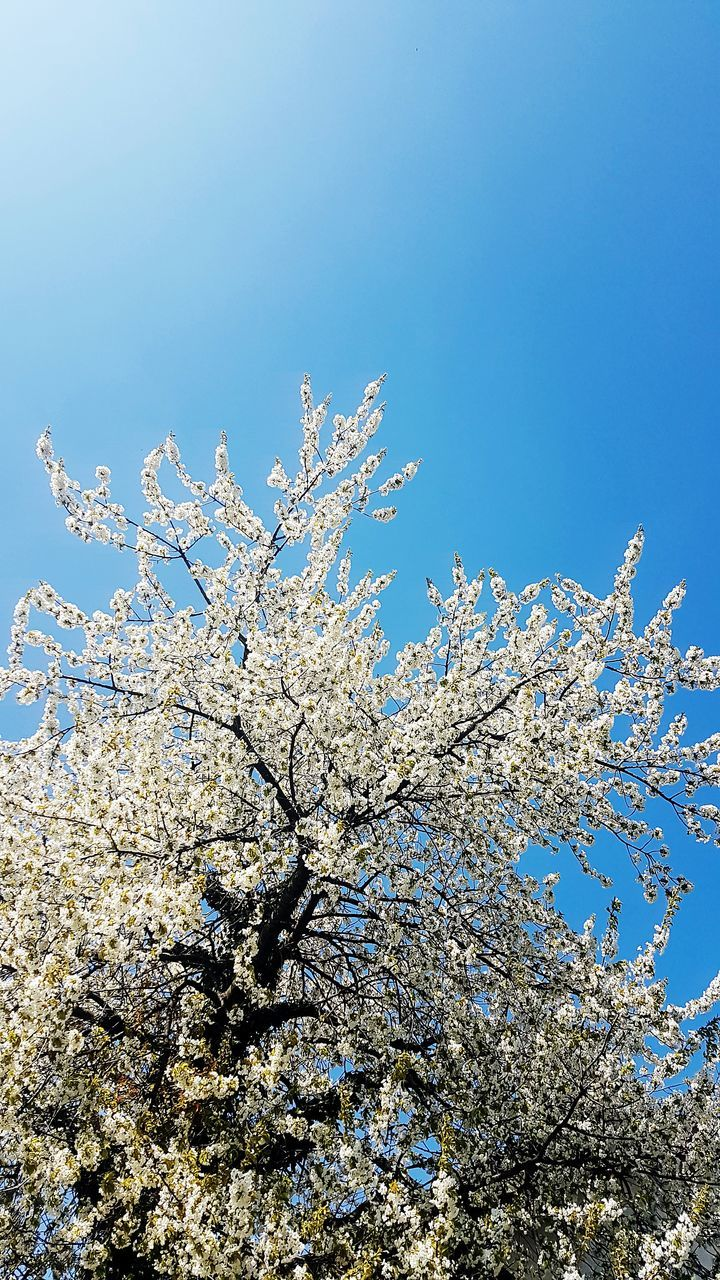 flower, blossom, tree, nature, beauty in nature, low angle view, springtime, fragility, branch, growth, freshness, apple blossom, botany, white color, orchard, apple tree, no people, blue, day, clear sky, twig, outdoors, sky, close-up, flower head, blooming
