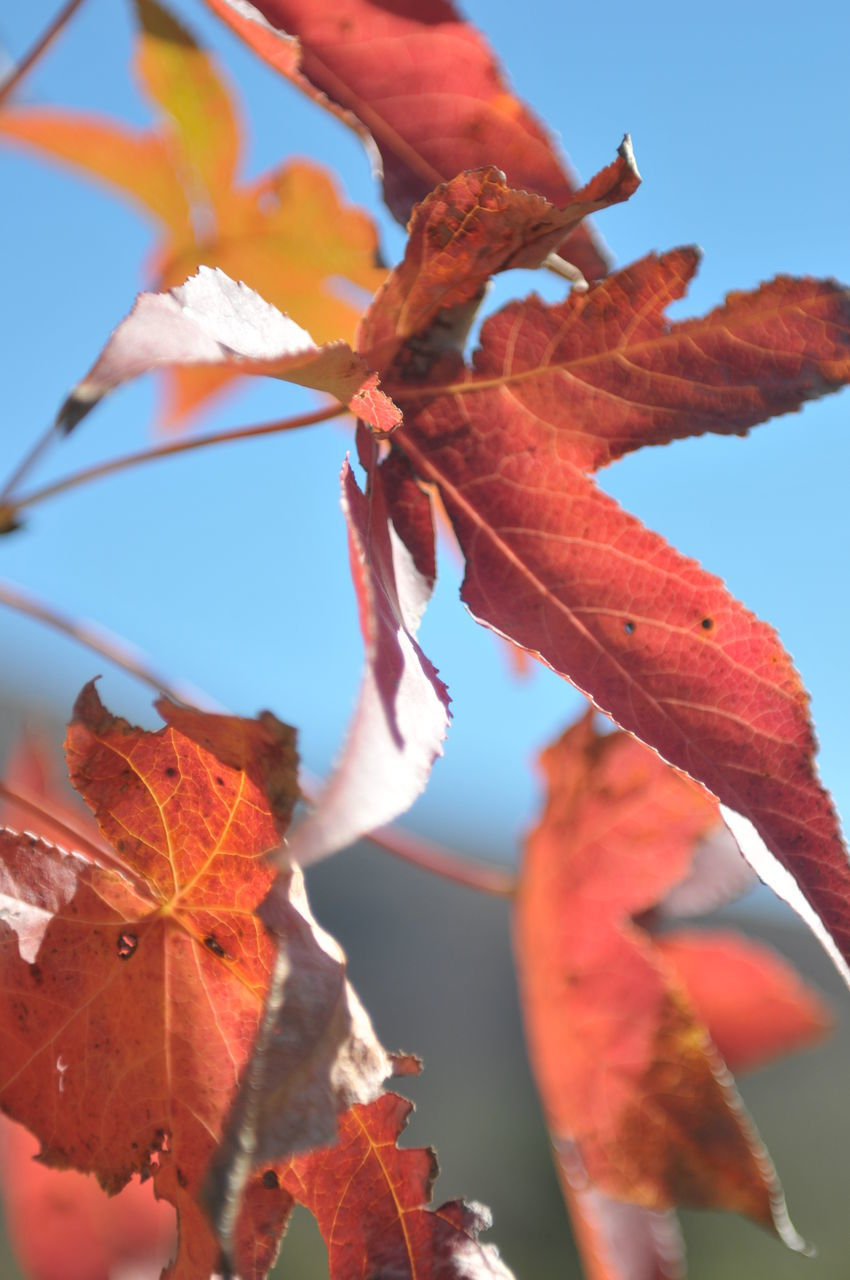 leaf, autumn, change, outdoors, day, nature, growth, beauty in nature, maple leaf, no people, fragility, close-up, maple, clear sky, freshness, sky