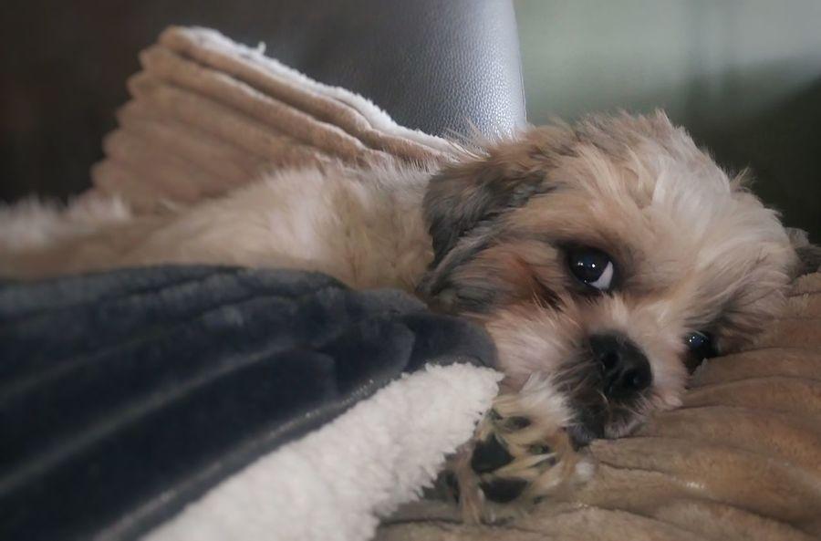 Zeno, shih-tzu Pets Dog Sony Xperia M5 Shih Tzu Love I Love My Dog Shih Tzu Looking At Camera Taking Photos Animal Photography