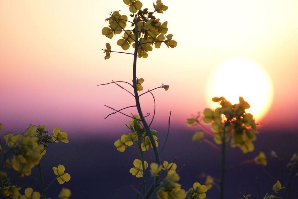 Sunset Sun Flower Sky 菜の花 Japan Skylovers View