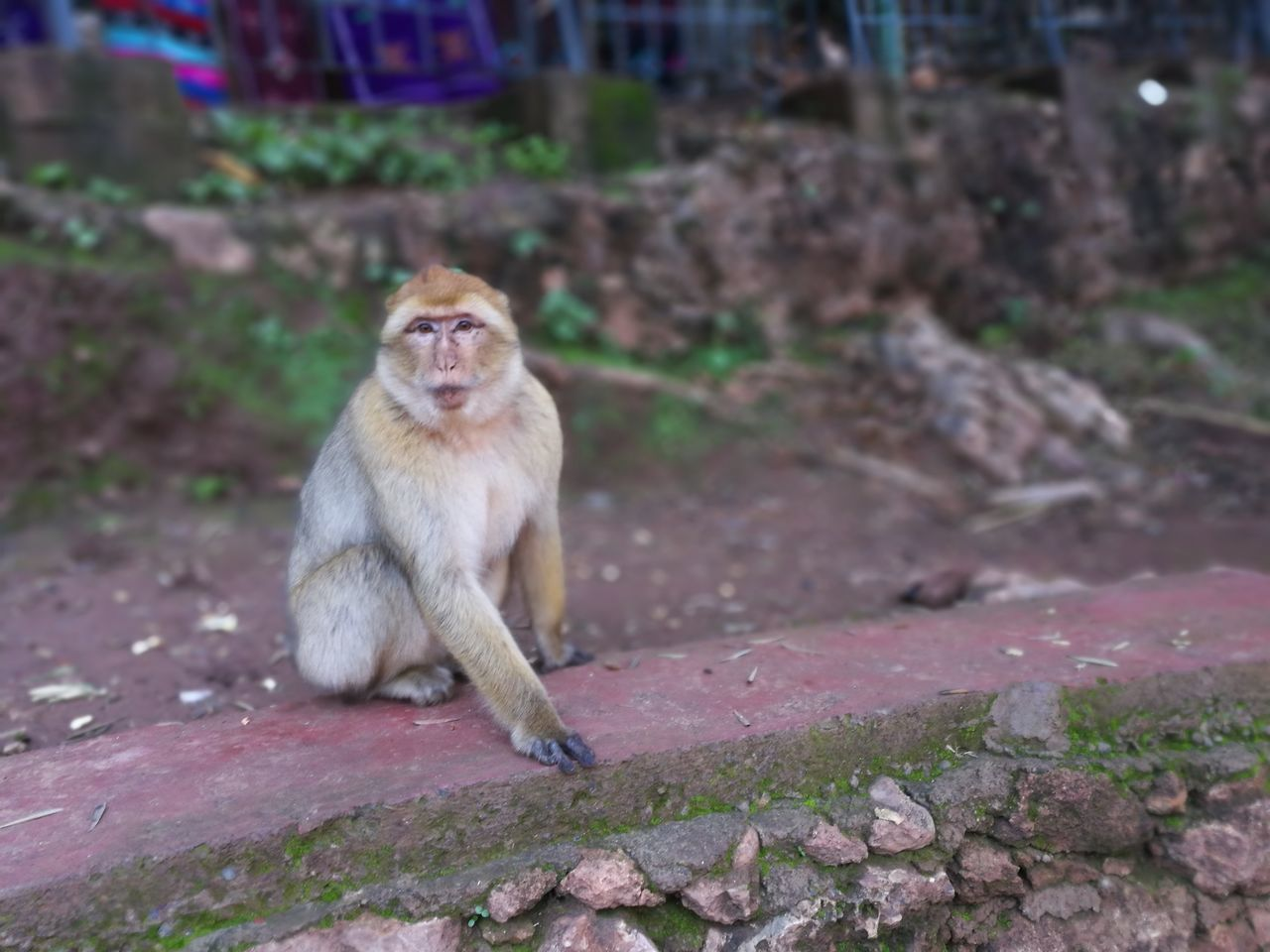 monkey in the park dell'ouzoud Animal Themes Animal Wildlife Animals In The Wild Day Macaca Macaco Macaque Mammal Monkey Monkeys Nature No People One Animal Outdoors Ouzoud Primate Sitting