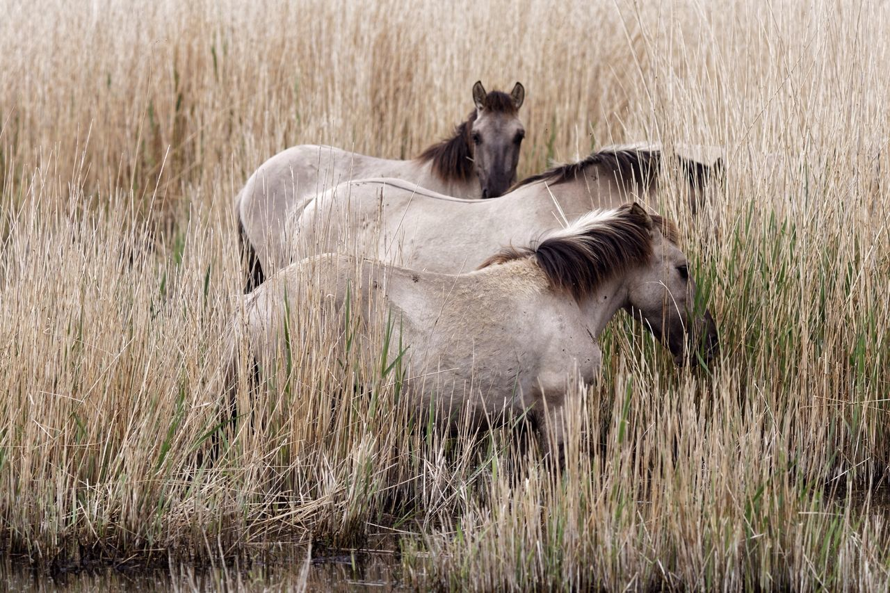 Horses In The Reeds Grass Animal Themes Mammal Nature Outdoors No People Day Animals In The Wild Domestic Animals