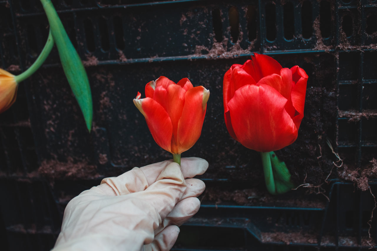 Compare. Beauty In Nature Blooming Floriculture Flower Flower Head Flowers Freshness Greenhouse Human Body Part Leaves Nature Petal Plant Plant Nursery Plants Plants And Flowers Red Tulip Tulips