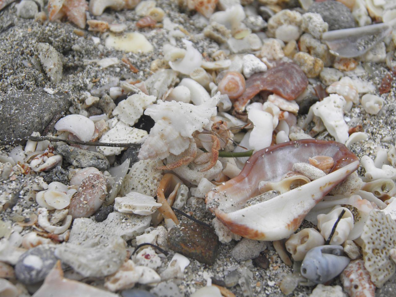 seafood, no people, beach, seashell, pebble, nature, sea life, animal themes, animals in the wild, sand, day, one animal, close-up, animal wildlife, food, outdoors, sea, freshness