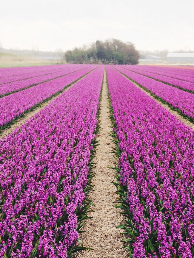 Flower fields in Holland Spring Naturelovers Holland Flowers Flower Collection Flowers, Nature And Beauty Lisse  Keukenhof Travel Photography