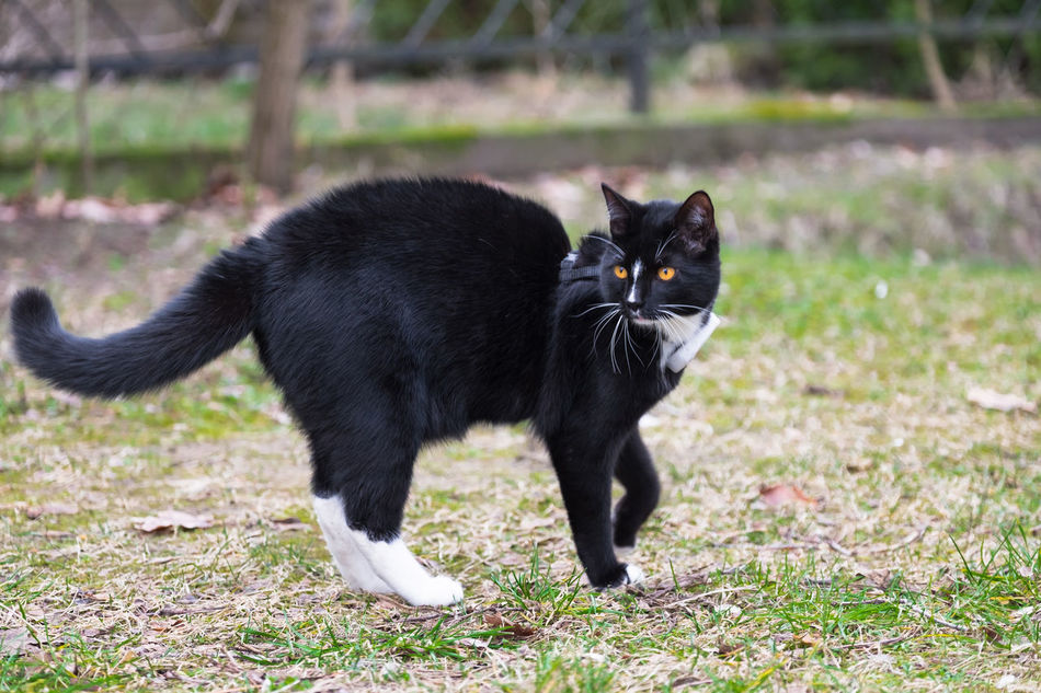 Animal Animal Themes Arched Back Back Black Black Color Cat Close-up Domestic Animals Elegant Eyes Field Grass Grassy Mammal Nature Outdoors Pets Smooth Vigilant