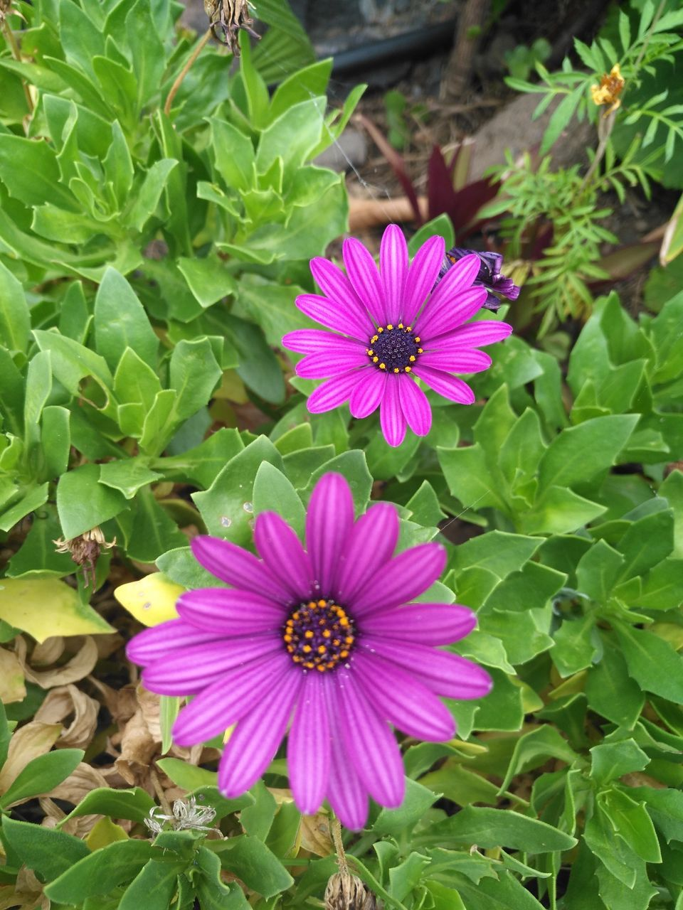 flower, growth, plant, petal, fragility, beauty in nature, nature, blooming, leaf, flower head, freshness, green color, day, outdoors, pink color, high angle view, purple, osteospermum, no people, close-up, petunia, eastern purple coneflower, zinnia, periwinkle