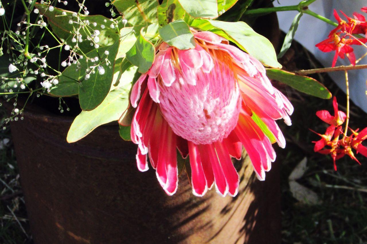 Protea Flower Flowers Pink Pink Protea Babysbreathflower