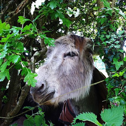 Nature Donkey Close-up Animal Themes in your face 😃 Hidden Gems  between the Foliage Watching everyone walk past Green Color everywhere, in Devon UK 🇬🇧