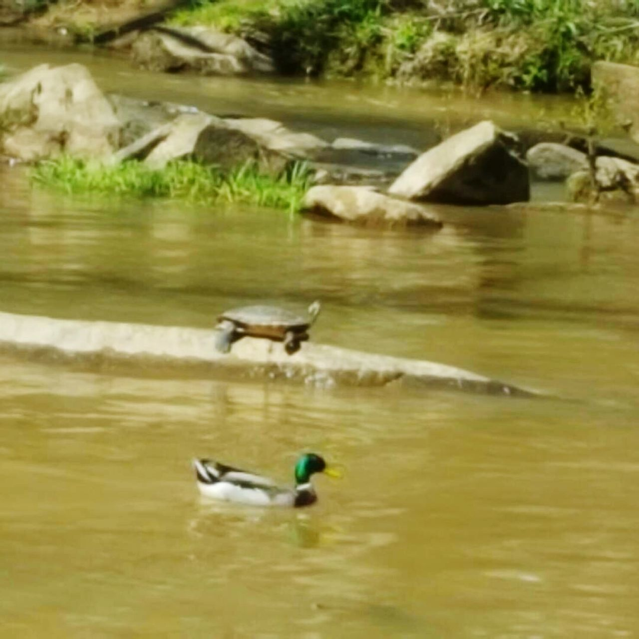 Turtle and duck Animals In The Wild Animal Themes Bird Water Animal Wildlife Swimming Nature Day Outdoors Lake No People Nature Growth Beauty In Nature Fragility Exploring Love Where You Live Spartanburg, SC Glendale Shoals Water Flowing Down Duck Turtle