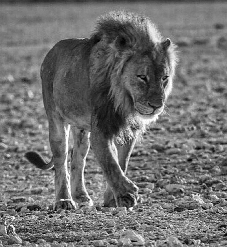 Africa Namibia Etocha Lion Wildlife Traveling Travel Photographer Noiretblanc