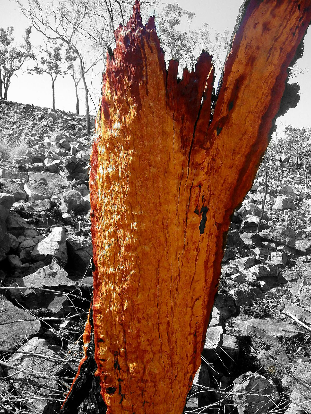 Original Burnt Orange Bark Colour Black And White Background Northern Territory Australia Limmen Tree Wood Orange Burnt Fire Back Burning Rocks Hill Outbackaustralia Outback Bush No People Outdoors Walkabout EyeEmNewHere EyeEmNewHere