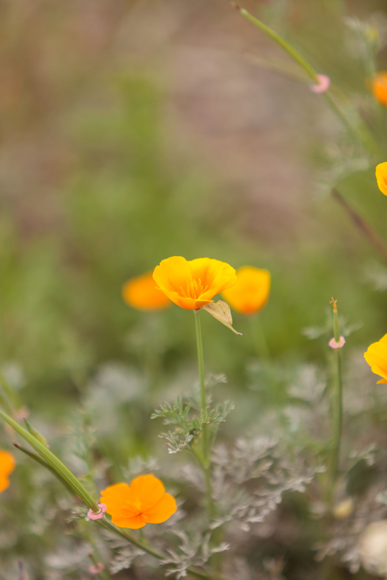 Close up of an orange California Poppy flower Eschscholzia californica in a field in Big Sur Beauty In Nature Big Sur California California Poppy Close-up Day Eschscholzia Californica Flower Flower Head Flowers Fragility Freshness Growth Nature No People Orange Flower Outdoors Plant Poppy Flowers