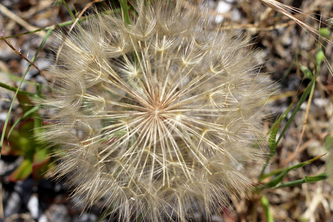 Beauty In Nature Close Up Close-up Dandelion Dandelion Seed Day Flower Flower Head Flowers Focus On Foreground Fragility Freshness Greece Growth Lesbos Lesvos Natural Pattern Nature No People Outdoors Plant Seed Selective Focus Softness Spiked
