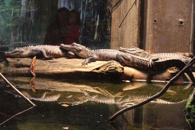 Gators Just Chillin' Tennessee Aquarium