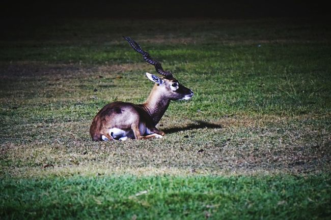 Fearless Blackbuck Guarding The Garden at Rajbhavan Chennai Nightphotography