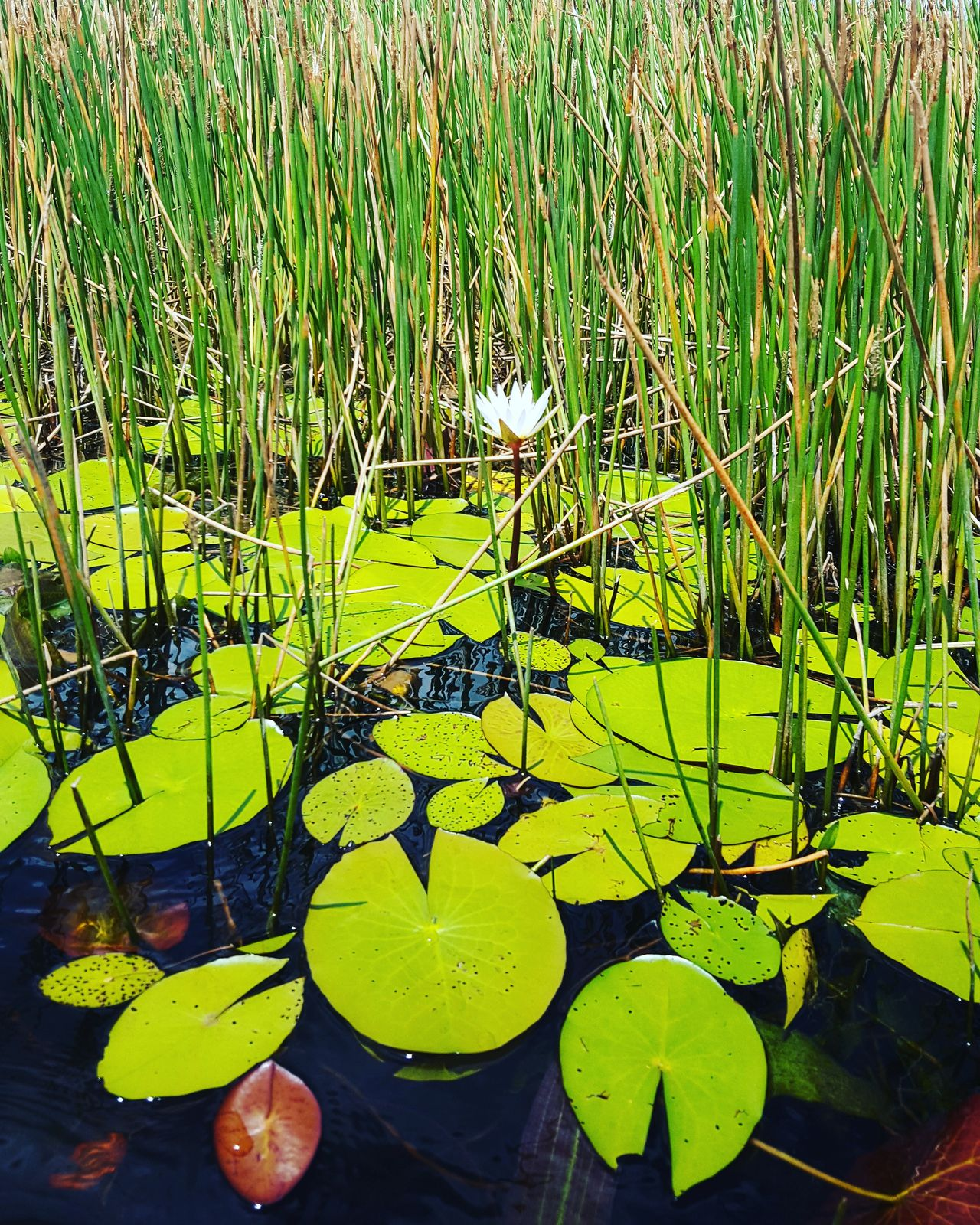 Water Green Color Nature Growth No People Outdoors Beauty In Nature Grass Close-up Day Single Flower Flower Lily Pad Lily Lily Flower Lily Pond Lilyum Lily Flowers Lilypad Lilypads