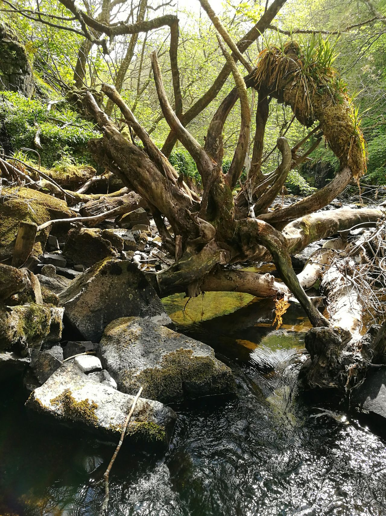 Uig Isle Of Skye Tree Water Nature Branches Rocks Tree Roots  Forrest Outdoors Nature Sunlight HuaweiP9 Huaweiphotography