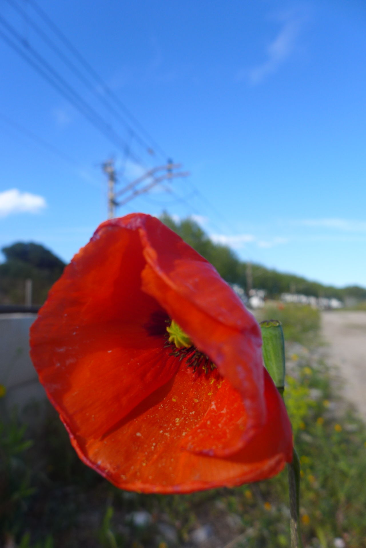 Flower Flower Head Focus On Foreground Nature Nature Survival Petal Poppy Red Selective Focus Train Line Train Tracks Wild Poppy