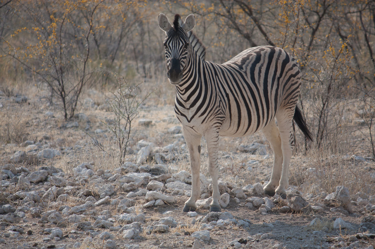 Beautiful stock photos of zebra, Animal Themes, Animals In The Wild, Beauty In Nature, Day