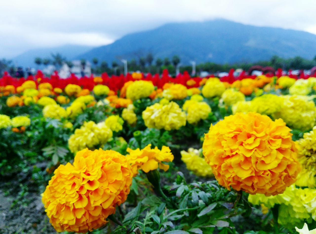 Flower Yellow Nature Beauty In Nature Plant Fragility Growth Outdoors Landscape Freshness Flower Head Day Sky No People Mountain Close-up Taitung,taiwan Taitung