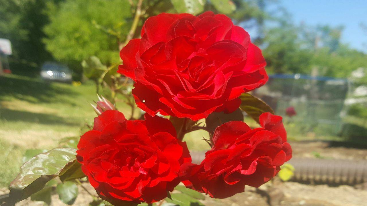 flower, petal, red, beauty in nature, nature, fragility, focus on foreground, freshness, flower head, no people, close-up, day, rose - flower, growth, outdoors, blooming