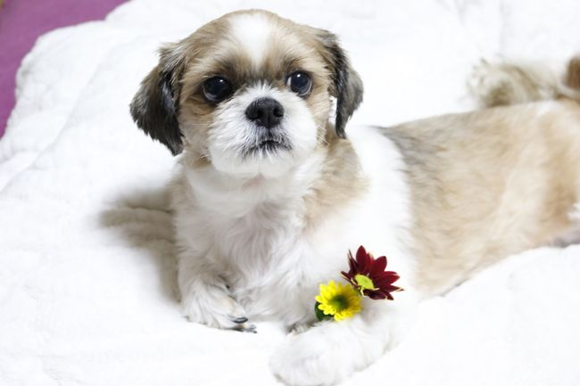 초코 아련아련 강아지 쉬츠 Dog Puppy 꽃