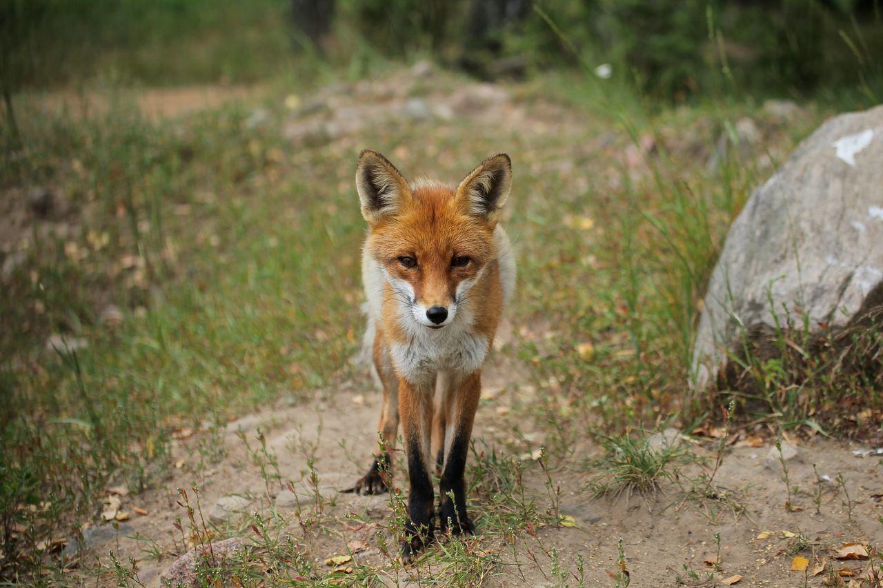 Hello World Relaxing Beauty Oley Elate Landscape Fox