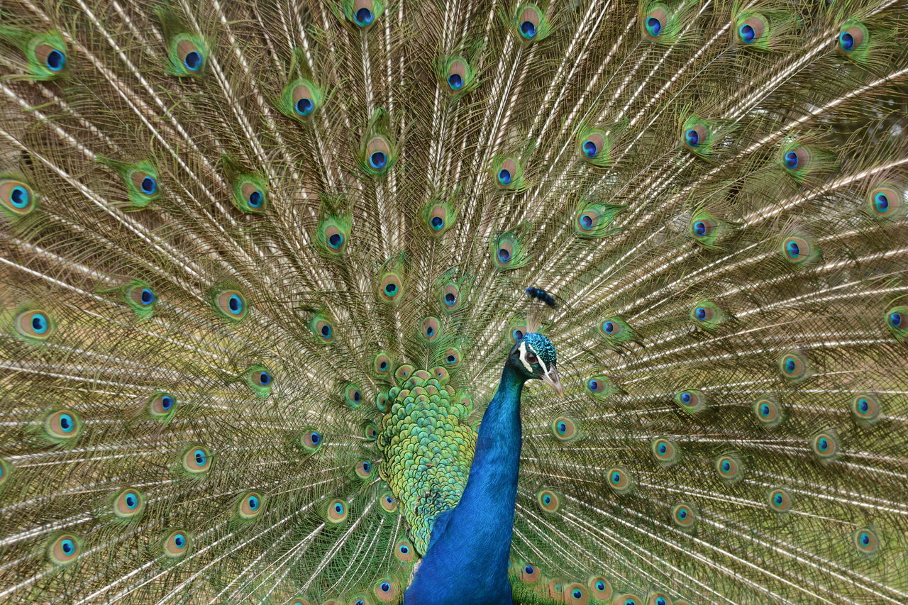 Beautiful stock photos of peacock, Animal Themes, Animal Wildlife, Animals In The Wild, Beauty In Nature