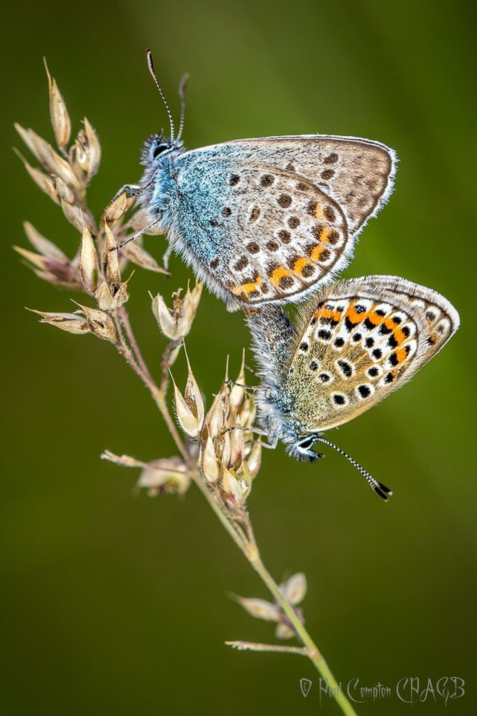 Animal Themes One Animal Close-up Animals In The Wild Wildlife Butterfly Butterflies Insect Nature Day Beauty In Nature Outdoors Zoology No People Tranquility Fragility Green Color Common Blue Butterfly Common Blue