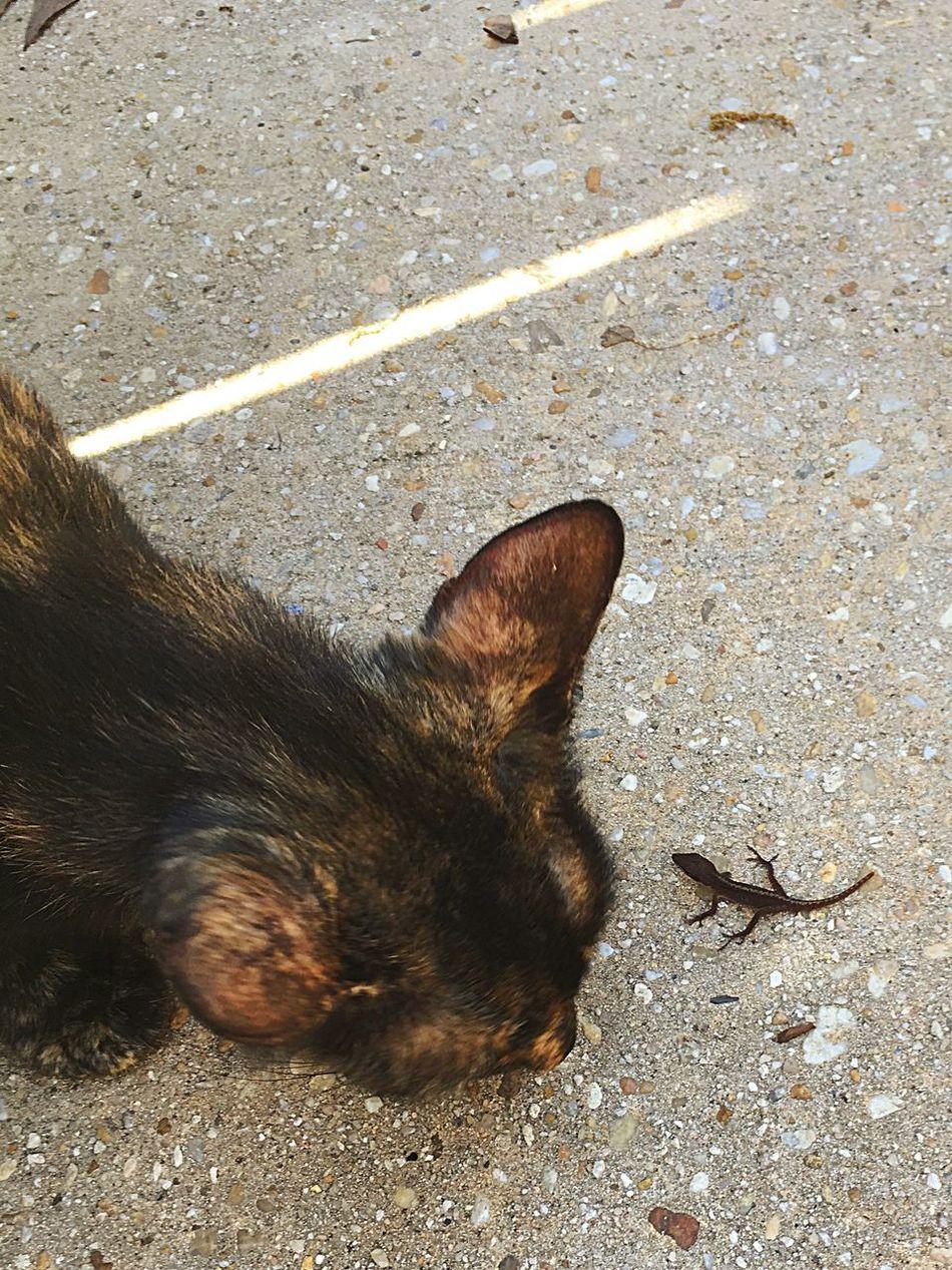 It's A Standoff ✌️ My Fearless Cat🐛🐢 Brave Lizard 👍