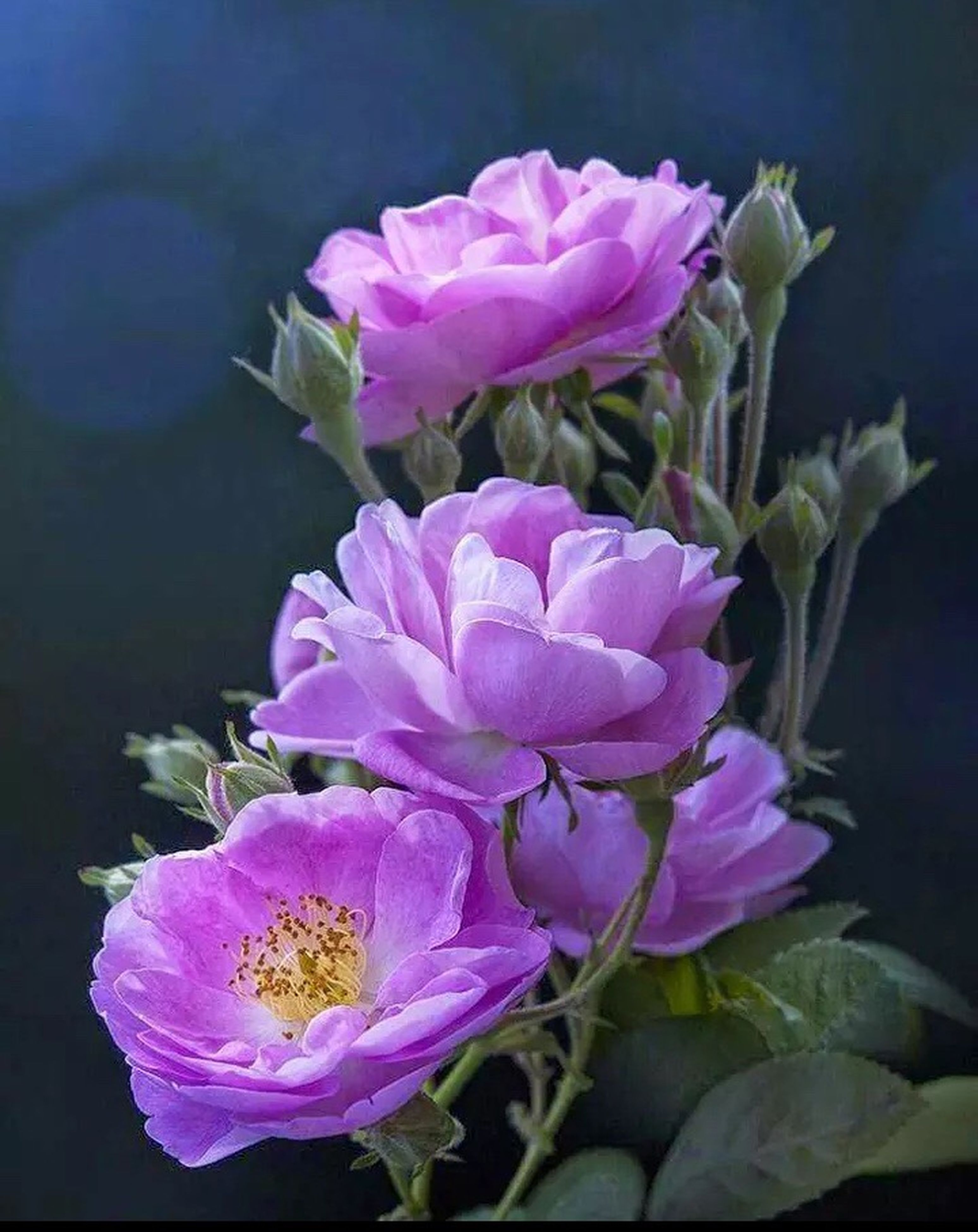 flower, freshness, fragility, petal, close-up, flower head, beauty in nature, springtime, pink color, growth, in bloom, season, blossom, nature, botany, selective focus, vibrant color, bunch of flowers, softness, pink, bloom, focus on foreground, flowering plant, no people, rose petals