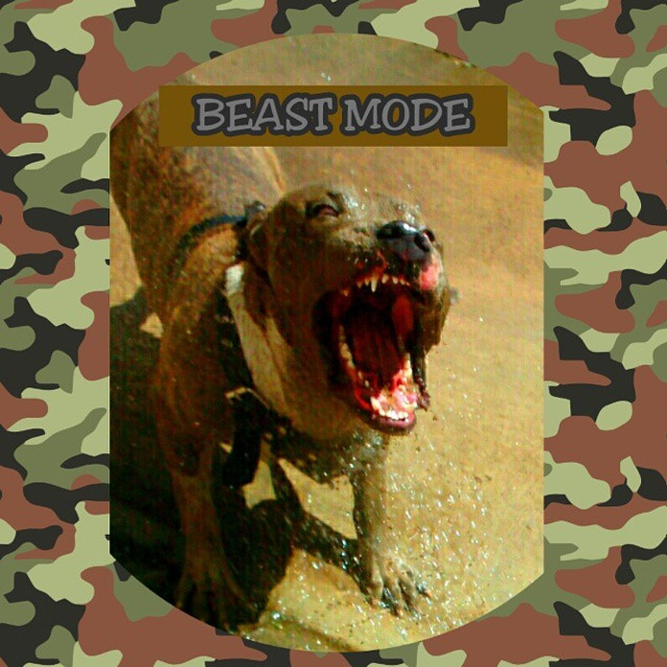 The PitBull much like our Troops are simply misunderstood...They do what they are trained to do on command. Its the General, The Boss, The Commander, That needs to be Responsible for proper actions their soldiers partake in. Pitbulls are the most loyal,loving and caring breed I've ever come across. They will take their very last breath fighting for you...their love is unconditional and everlasting.Support our PitBulls and Troops!!! ForOurUSTroopsOnBeastMode Militarylife MILITARYLOVE Hoorah Army Navy Marines Airforce Coastguard MilitentWeAre1 Delta RangerUp Specialforces LoveForAllWhoServed LoveForAllWhoAreServing LoveForTheFallen LoveForThePOWs LoveForTheirSacrifice LoveForTheirFamiliesSacrifice