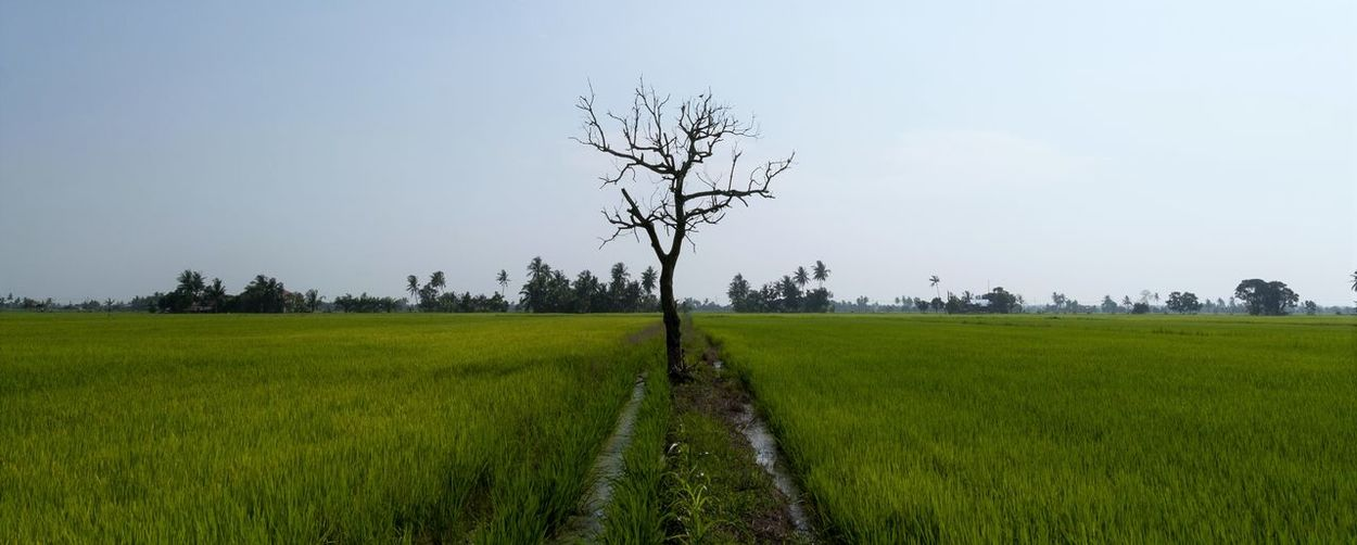 Panoramic shot of a single dried dead tree in the middle of paddy field. Agriculture Crop  Day Farm Field Green Green Color Growth Landscape Lush Foliage Nature Paddy Field Rice Field Rural Scene Tranquil Scene Tranquility