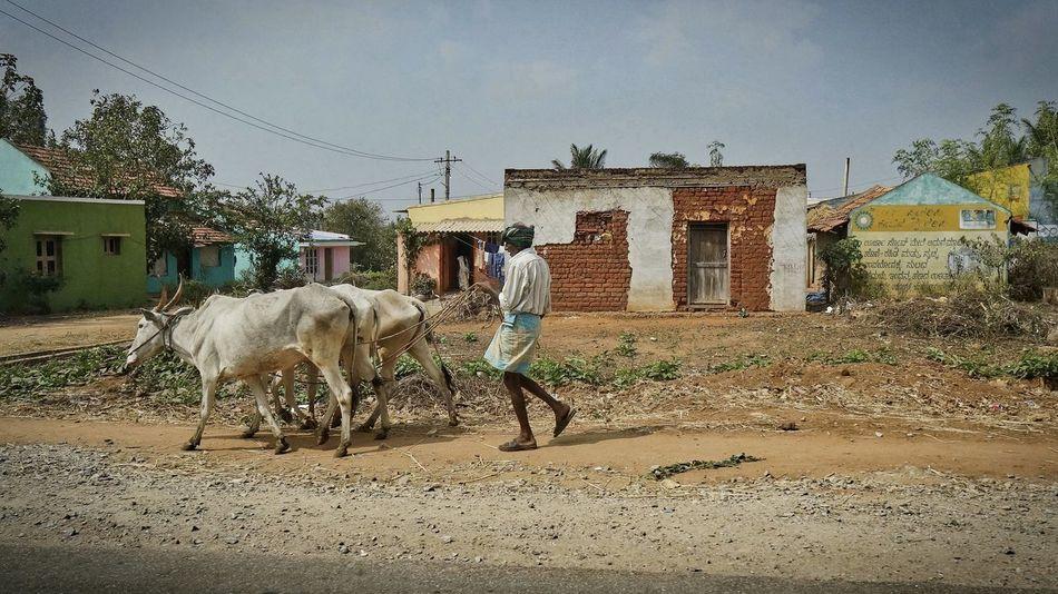 Buffalo Rural India Cow Day Domestic Animals Farmer Livestock Mammal One Person Rural Scene Sky