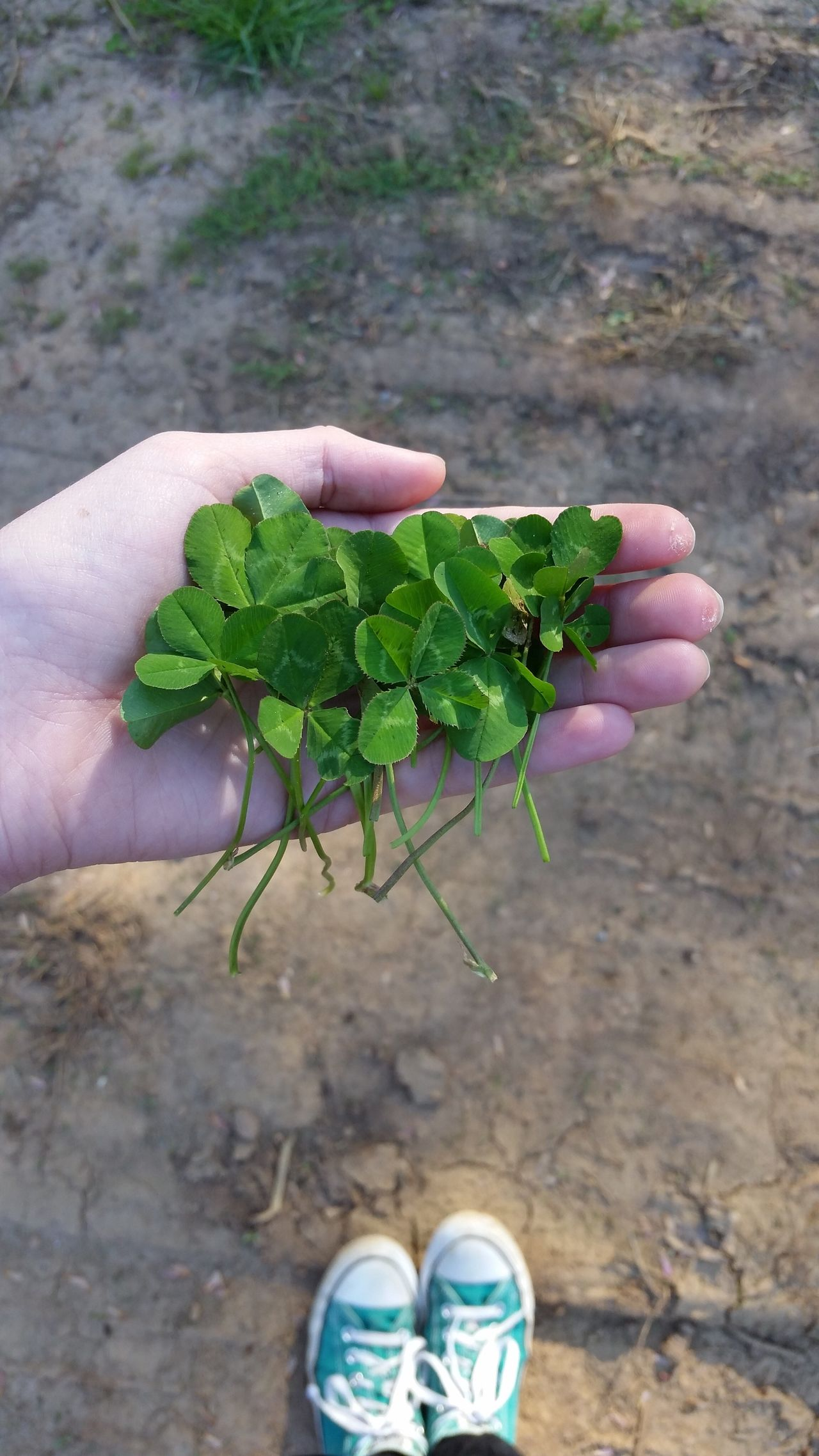 Human Hand Human Body Part One Person Focus On Foreground Growth Plant Unrecognizable Person Real People Leaf Close-up Personal Perspective Food Outdoors Day Lifestyles Agriculture Freshness Green Color Adults Only People Four Leaf Clover Clover