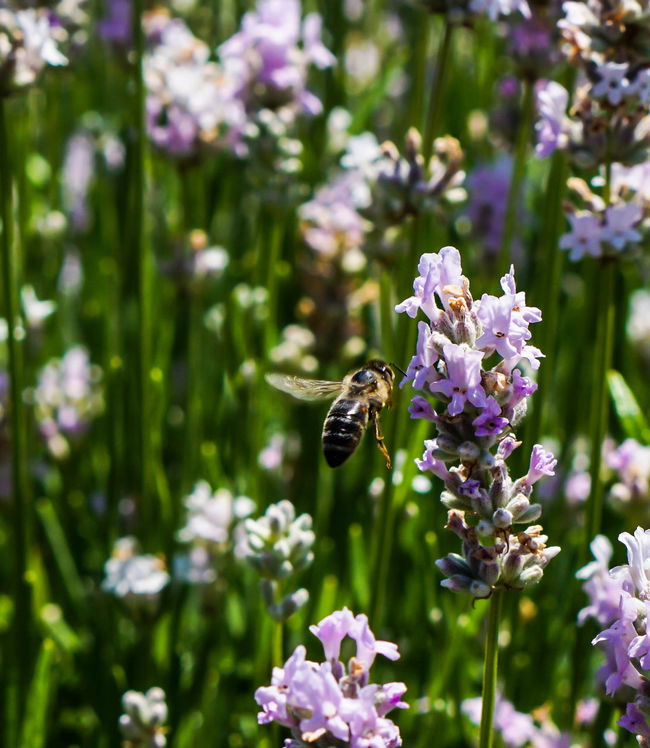 Animal Themes Beauty In Nature Bee Blooming Close-up Day Flower Flower Head Focus On Foreground Fragility Freshness Growth In Bloom Insect Lavender Nature Outdoors Petal Plant Pollination Purple Selective Focus Stem Symbiotic Relationship Wildlife