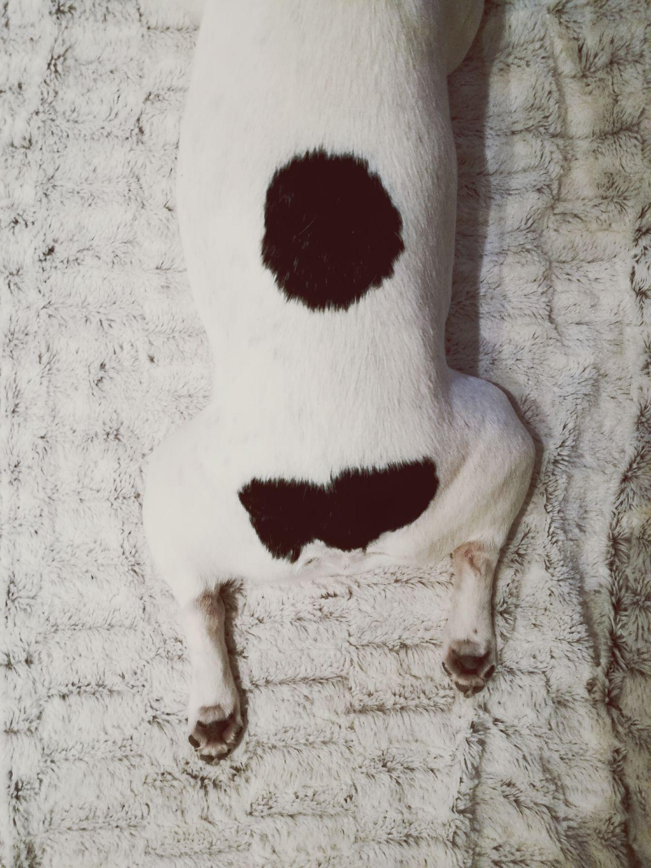 One Animal Dog Animal Themes Pets French Bulldog Frenchie Bully Paws Awkward Sleeping But Fur Blanket Cozy Funny Sleepingposition