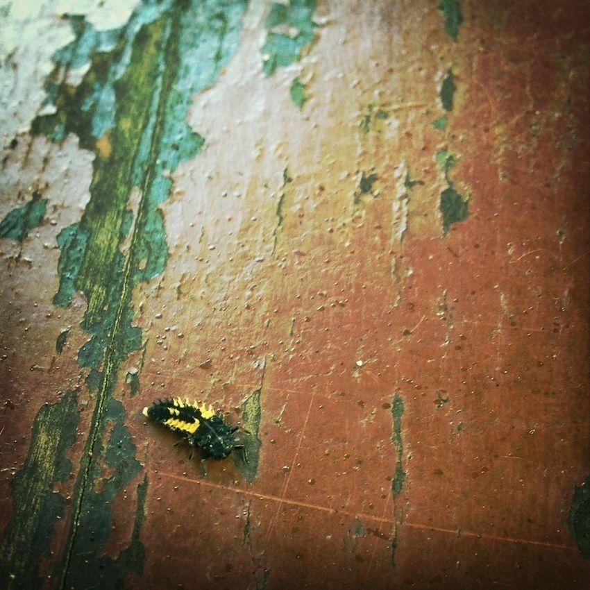 Ladybug Ladybug Larva