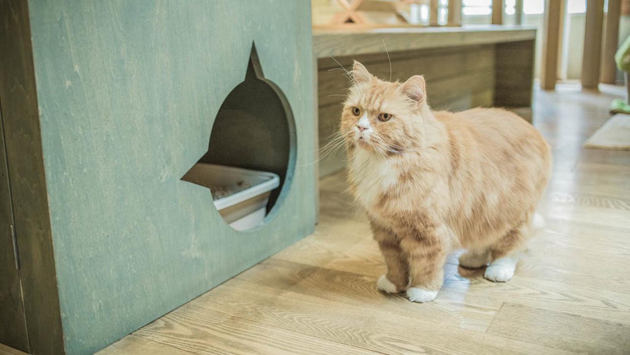 domestic cat, pets, indoors, domestic animals, table, feline, mammal, one animal, animal themes, home interior, hardwood floor, no people, day, persian cat