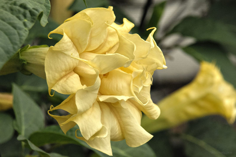 Beauty In Nature Blooming Blossom Botany Brugmansia Angels Trumpet Close-up Day Engelstrompete Flower Flower Head Flowers, Nature And Beauty Focus On Foreground Freshness Growth In Bloom Nature No People Outdoors Petal Plant Selective Focus Yellow