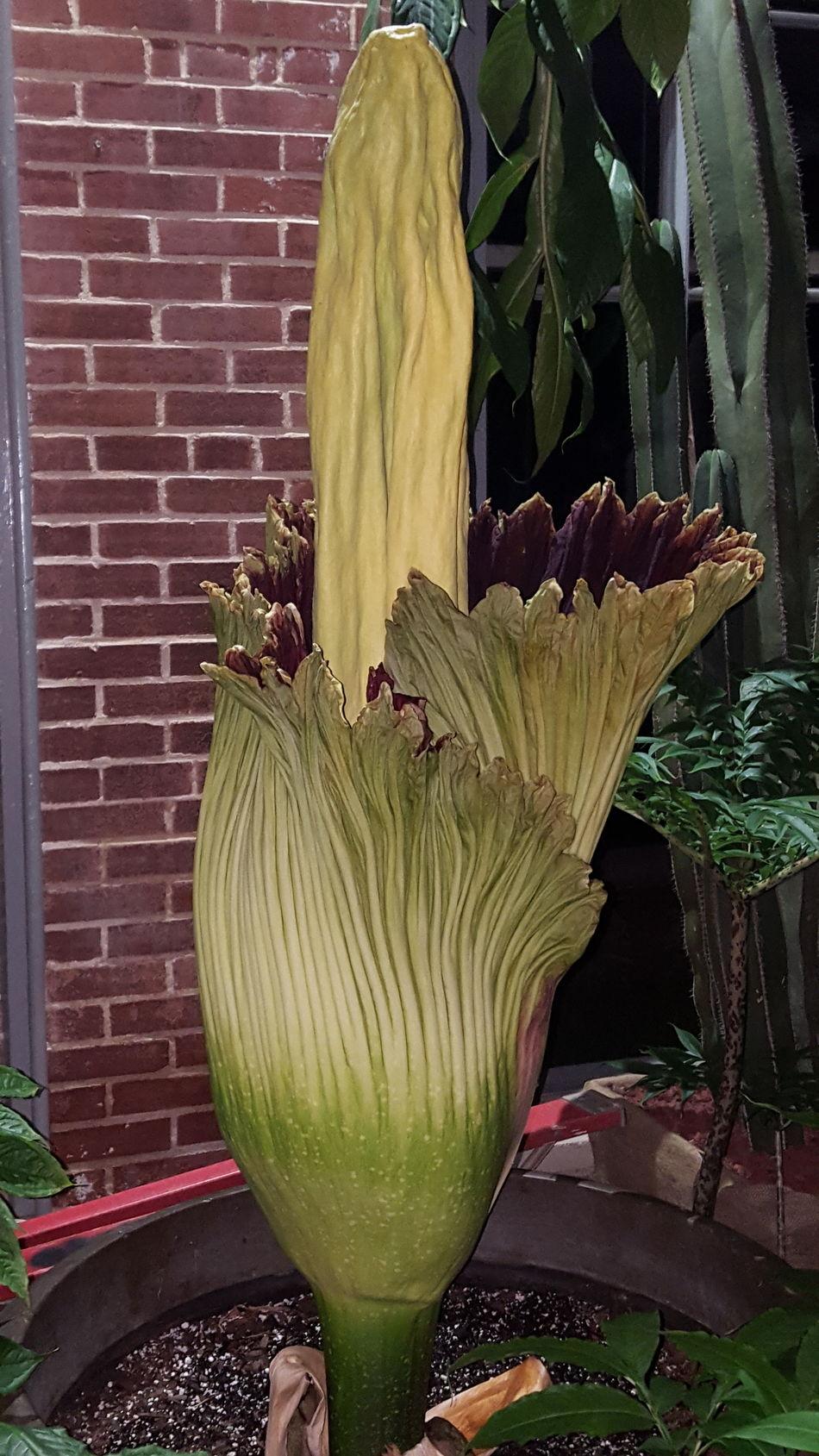 "Titan Arum aka ""corpse lily"" at the Missouri Botanical Garden. Missouri Botanical Garden Flower"