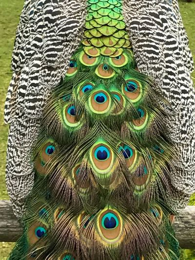 Peacock Feather Multi Colored Peacock Beauty In Nature Bird Feather  Nature Close-up Fanned Out Colorful Intense Colors Breathtaking Loud