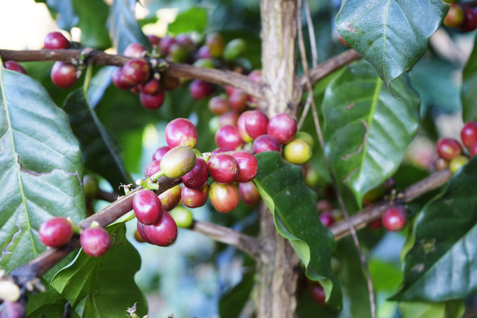 Beauty In Nature Branch Close-up Day Focus On Foreground Food Food And Drink Freshness Fruit Green Color Growing Growth Leaf Nature No People Outdoors Plant Raw Coffee Bean Red Tree