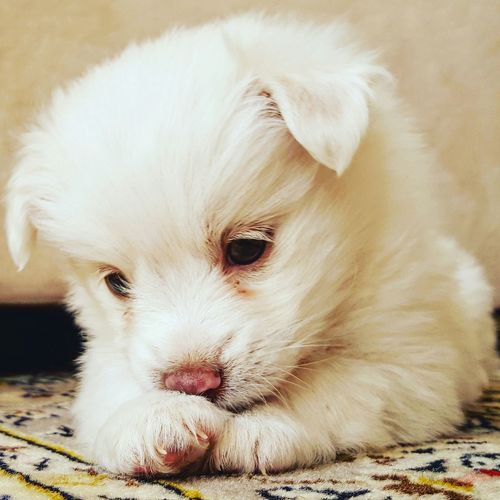 Puppy Puppies Dog Dogs Cute Cute Pets Spitz