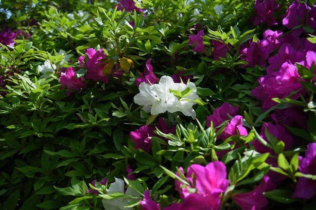 このレンズVoigtländer color-skoparとGXR A12Mountの相性は凄く良い。LeicaよりVoigtländerで使われることをかなり研究してたんじゃないかな?今更ながら開発終了が惜しまれる。つか出してから終わってくれてありがとうf^_^; Ricoh GXR Voigtländer Spring Flowers Color-skopar 25mm/f4