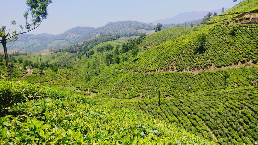 Teaestate Agriculture Munnar Top Station Swift Dzire Kerala India One Plus 3 One Plus Life Growth Nature Tree Rural Scene Landscape Green Color Outdoors Beauty In Nature Scenics No People Day