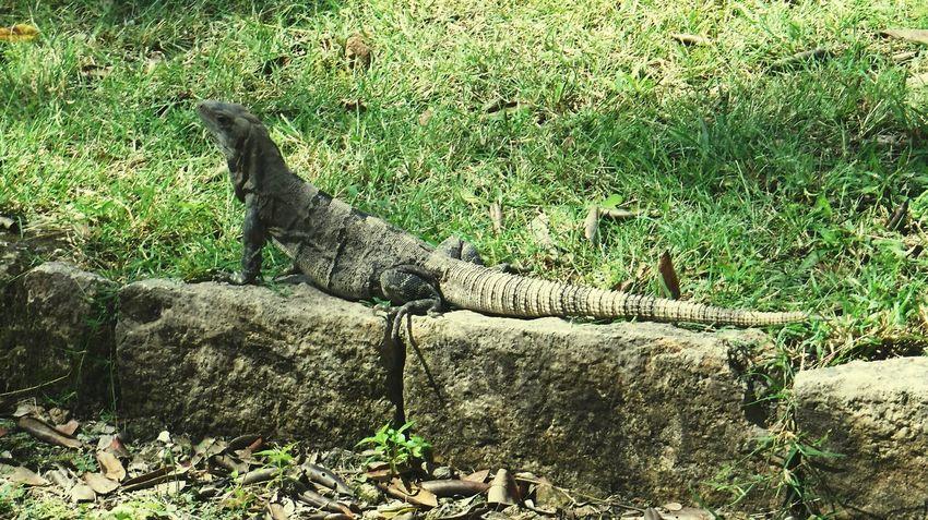 Iguana Tulum Iguana Reptile Nature Cultura Mexicana Miles Away