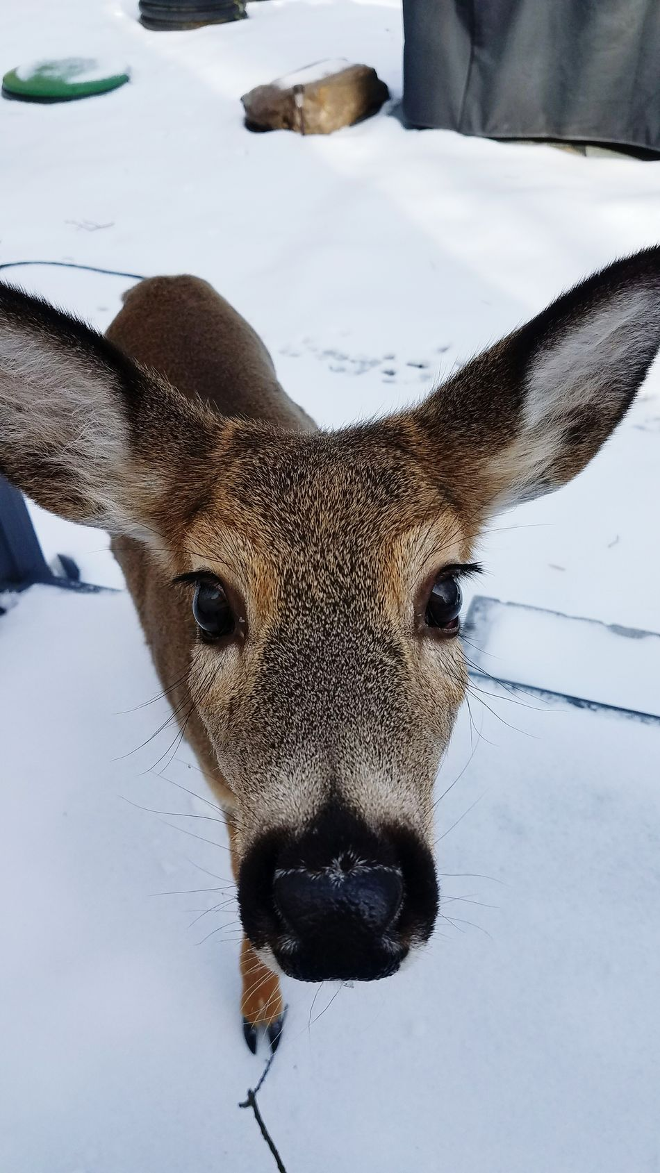 Winter Snow Cold Temperature Animal Themes Mammal Animals In The Wild Close-up No People Outdoors Nature Deer Beauty In Nature Day Deers Nature Beauty Peace Deer In My Yard Deer In The Snow Deer