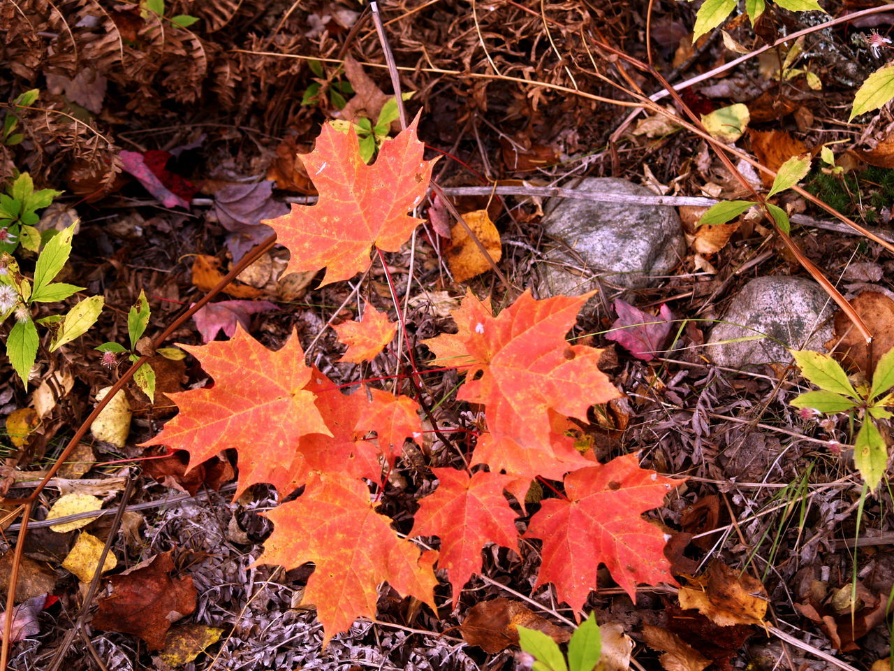 Autumn Beauty In Nature Change High Angle View Leaves Maple Leaf Outdoors Season  Small Tree Tranquility Orange Color Red Leaves, Autume, Season Change Urbanature Tree